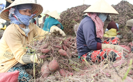 Nhiều nông dân chấp nhận thu hoạch khoai lang vì sợ giá tiếp tục rớt sau tin đồn