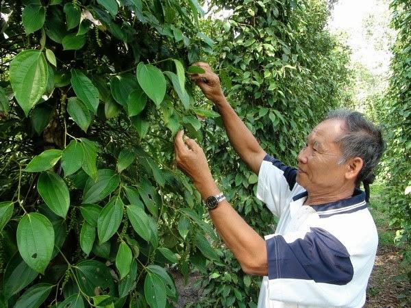 Khuyến cáo dân thận trọng khi trồng tiêu lạ đại trà