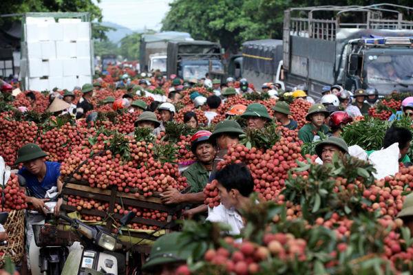 Mỗi ngày, 1.700 tấn quả vải tươi xuất sang Vân Nam, Trung Quốc