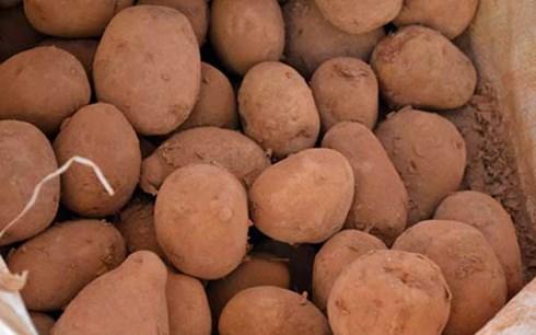Khoai tây Trung Quốc đội lốt khoai Đà Lạt: Giá tăng gấp 3 nhờ bôi... đất đỏ