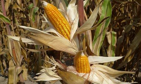 Thực phẩm biến đổi gen có ảnh hưởng đến sức khỏe, môi trường?
