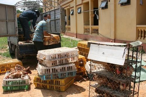 """Cảnh báo gà thải Trung Quốc phải tiêu hủy """"tuồn"""" vào Việt Nam"""