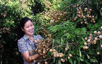 Cuối năm nay quả nhãn Việt Nam sẽ có mặt tại thị trường Mỹ