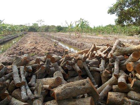 Diện tích vườn nhãn bị san bằng để trồng cây khác vì dịch bệnh chổi rồng
