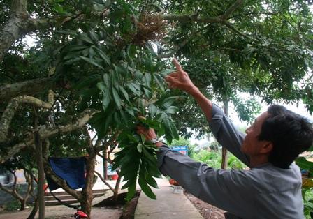 Nhãn bị bệnh chổi rồng nên năng suất rất thấp, nông dân bị thua lỗ