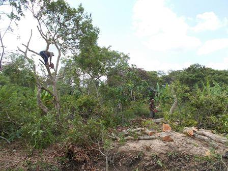 Nông dân đốn hạ vườn nhãn trên chục năm tuổi