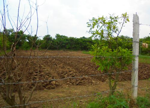 bãi-sông-hồng, trồng-ổi, ổi-găng, nông-sản, nông-nghiệp, đại-gia