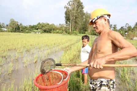 Nông dân tranh thủ ra đồng vớt ốc bán