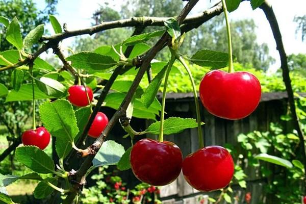 """Sang Úc trồng cherry để thỏa mãn """"sự thèm ăn"""" của người Trung Quốc"""