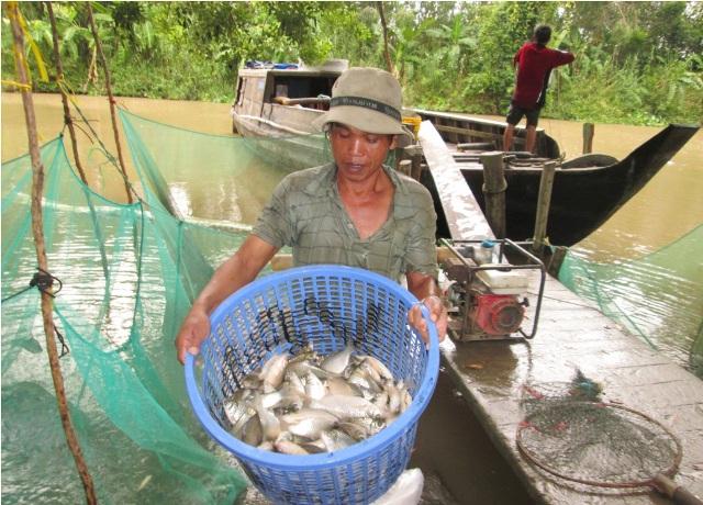 Đến mùa nước nổi gần như 100% người dân tận dụng mặt nước ruộng để căng lưới nuôi cá