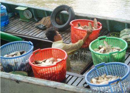 Khi đến chợ, bắt đầu xúc cá lên khỏi ghe