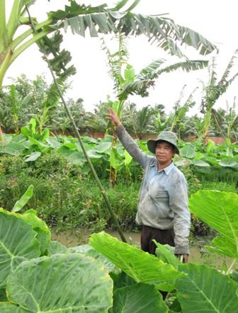 Lão nông thu nhập trên 300 triệu đồng/năm từ cây bạc hà (dọc mùng)