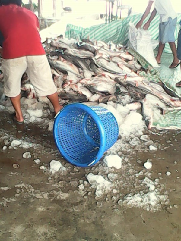 """Công an """"tiếp tay"""" cho chủ ao """"cướp"""" 16 tấn cá của doanh nghiệp?"""