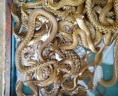 'Đột nhập' lò chế biến rắn, trăn lớn bậc nhất miền Tây