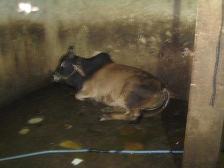 Bóc mẽ cơ sở giết mổ bơm nước tăng trọng lượng cho bò