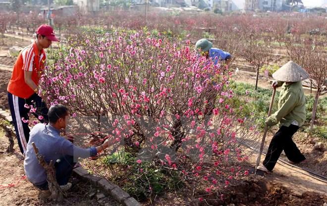 Chăm sóc đào Tết tại làng đào Nhật Tân. (Ảnh: Quý Trung/TTXVN)