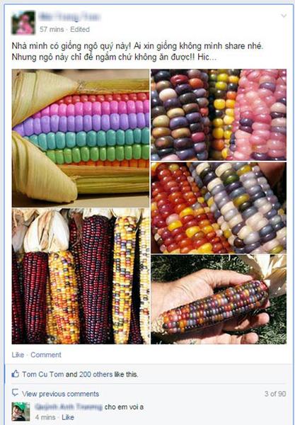 Những bắp ngô đầy màu sắc