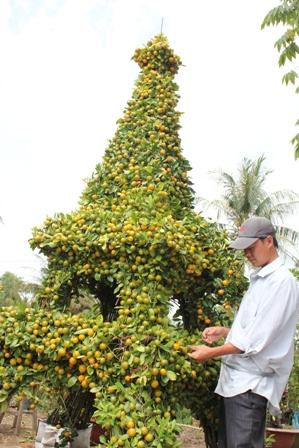 Sản phẩm tắc kiểng hình tháp rất độc trong dịp tết của nhà vườn Chợ Lách