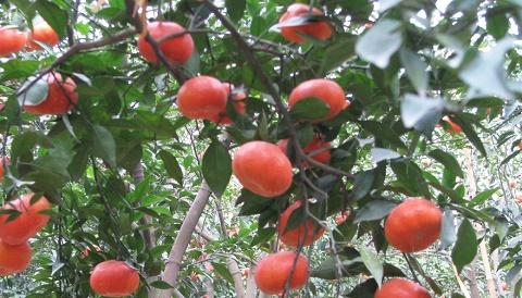 Cam Canh đang vào mùa tiêu thụ mạnh
