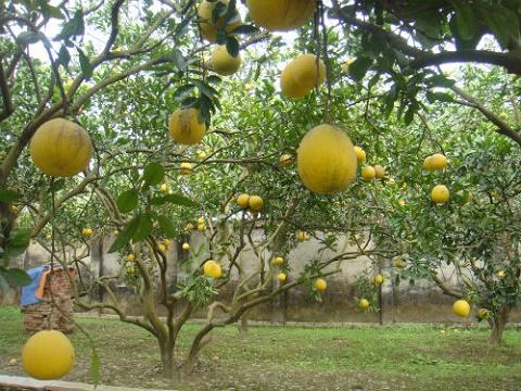 """Hoa quả Tết """"hái tận vườn"""" hét giá cả trăm nghìn"""