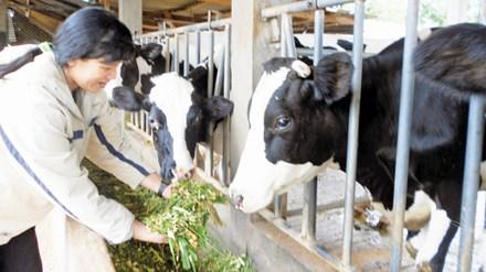 Nông dân lo phải đổ sữa ra đường