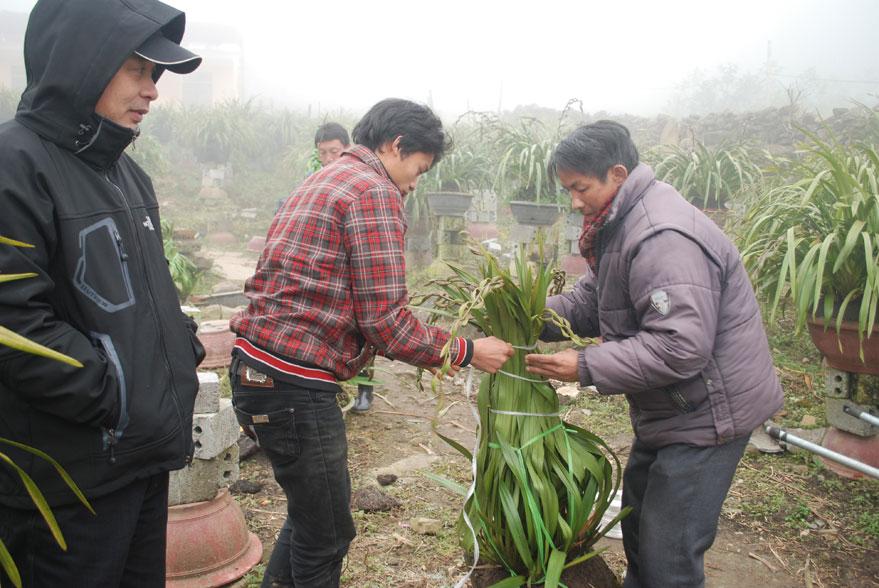 Nhà vườn Sapa đóng gói các chậu địa lan Trần Mộng trị giá hàng triệu đồng cho khách hàng.