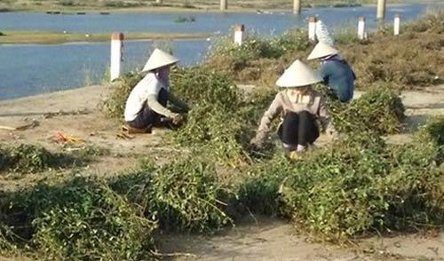 Chiêu hiểm thương lái Trung Quốc: Mua rễ hồ tiêu, hoa thanh long