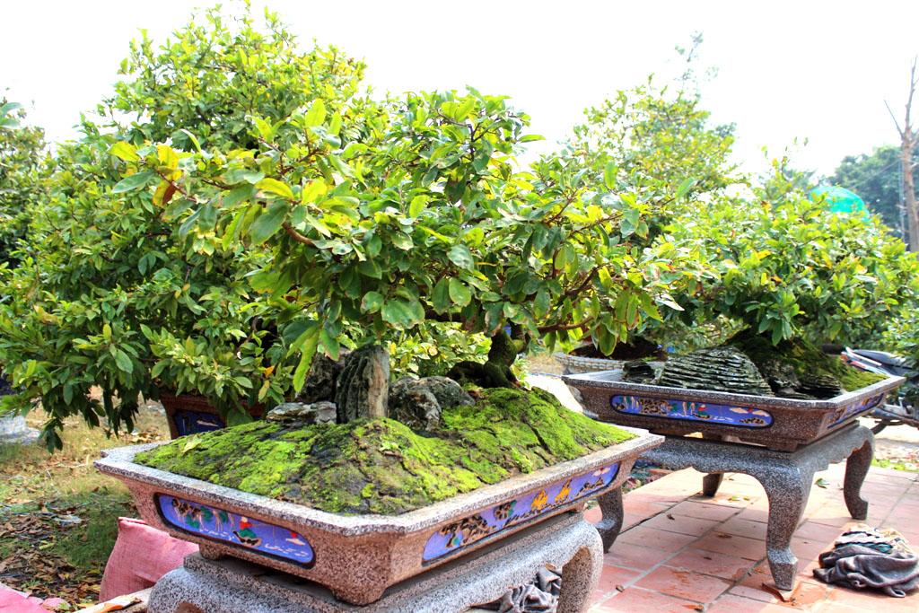 Những cây mai có giá lên đến hàng trăm triệu đồng được đặt tạo thế trong các chậu cảnh bề thế