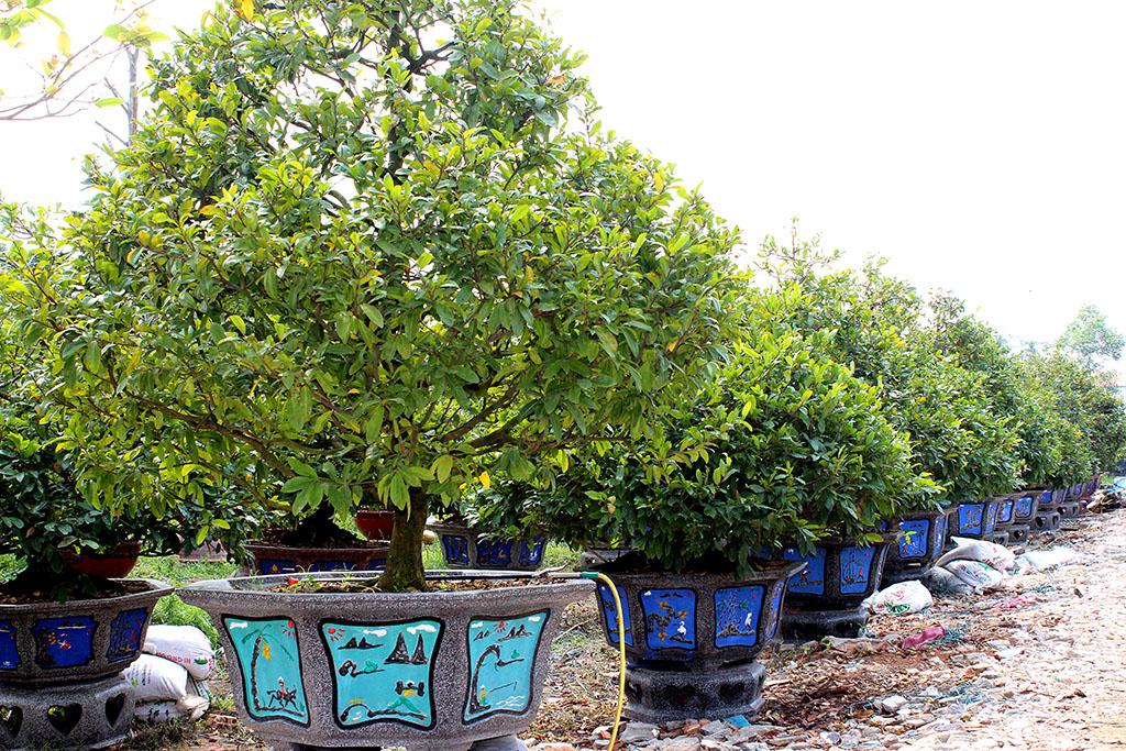 Những vườn mai đang được các chủ vườn chuẩn bị tung ra thị trường dịp tết