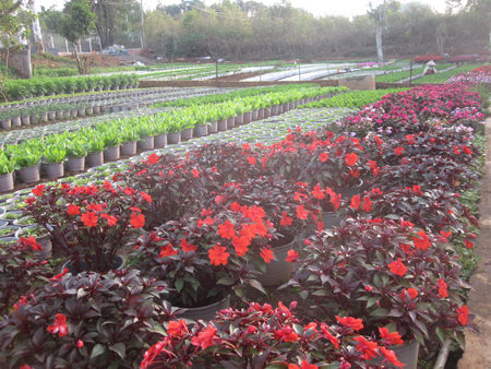 Vườn dâu tây nhà ông Cương bị quăn lá do thời tiết nóng, lạnh thất thường