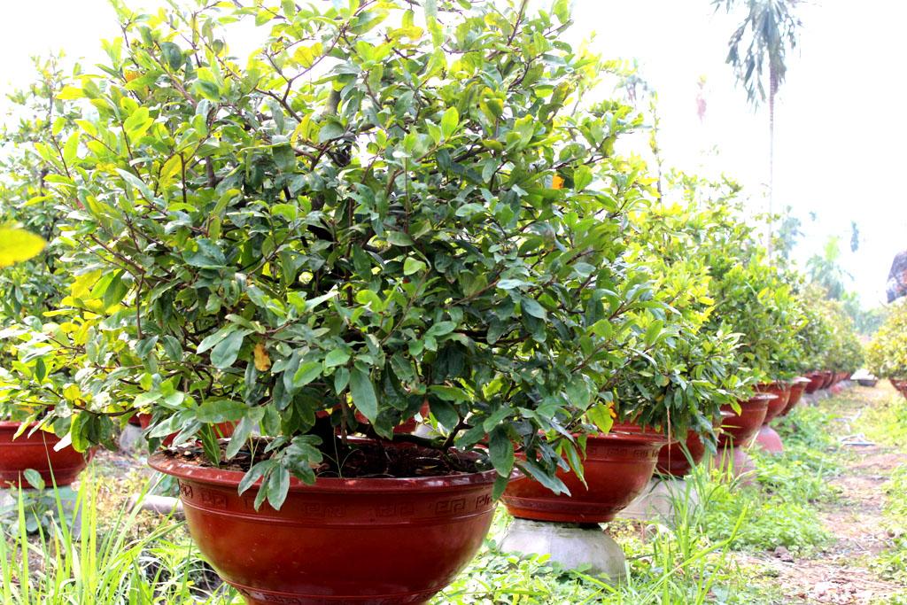 Nhiều chậu mai giá bình dân cũng được các chủ vườn chú ý nhằm vào nhu cầu của người mua