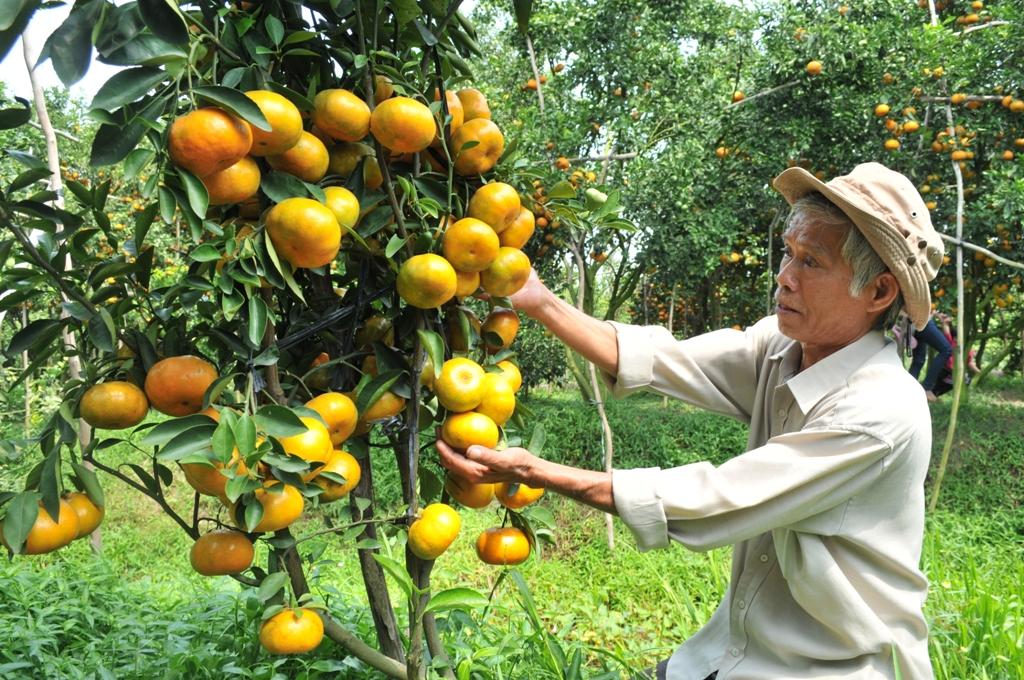 Với vườn quýt hồng trong chậu, mỗi năm ông Ràng thu lãi trên 200 triệu đồng.
