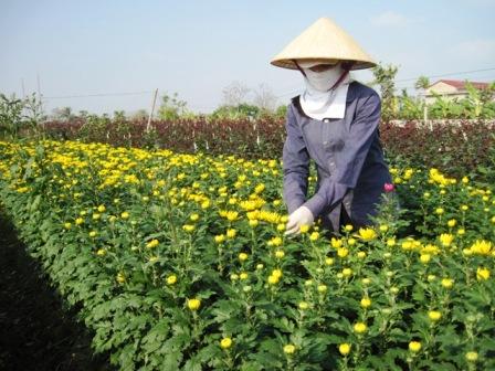 Người trồng hoa làng Đông Cương đang tất bật vào vụ hoa lớn nhất năm.