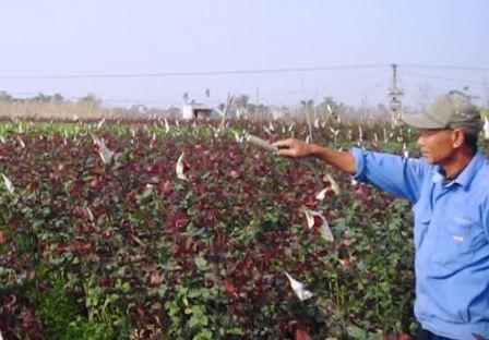 Nhiều ruộng hoa hồng nở muộn khiến nhiều hộ trồng hoa lo lắng.