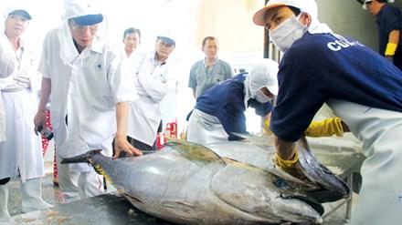 Chuyên gia Masakazu Shoga - Nhật Bản kiểm tra chất lượng cá ngừ trước khi xuất khẩu sang Nhật. Ảnh: H. Văn.