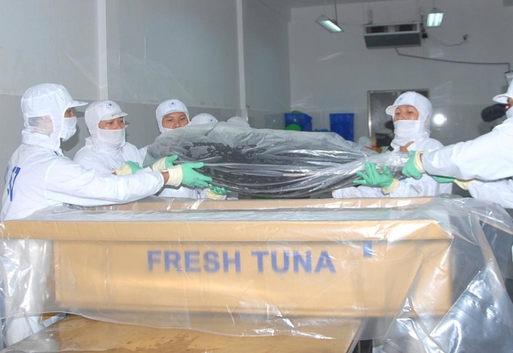 Tỷ lệ 7/100 con cá ngừ đại dương đạt tiêu chuẩn xuất khẩu qua Nhật đang còn quá thấp