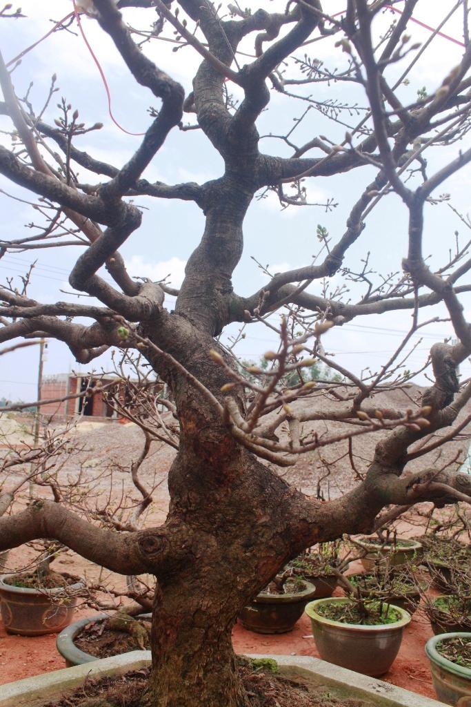 Dáng thế độc, lâu năm làm tăng giá trị của cây