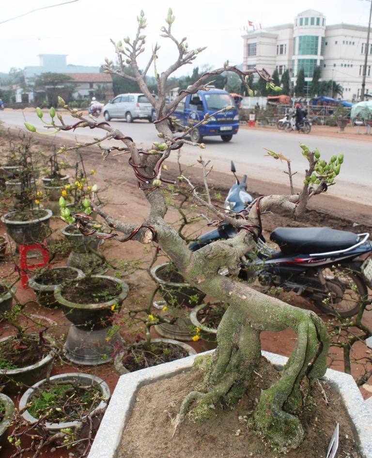 Ngoài ra, mai bonsai là điểm mới cho giá trị cao hơn mai thị trường