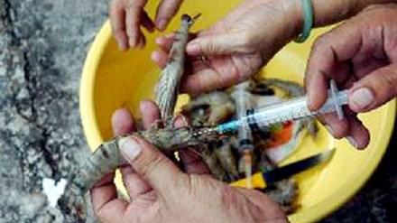 Vừa qua Đội quản lý thị trường số 17 (Hà Nội) bắt quả tang một cơ sở đang bơm chất lạ vào tôm để tăng trọng lượng.