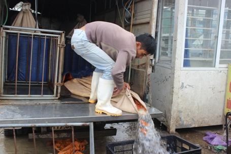 Từng chuyến xe chở cá chép vàng liên tục đổ về chợ này