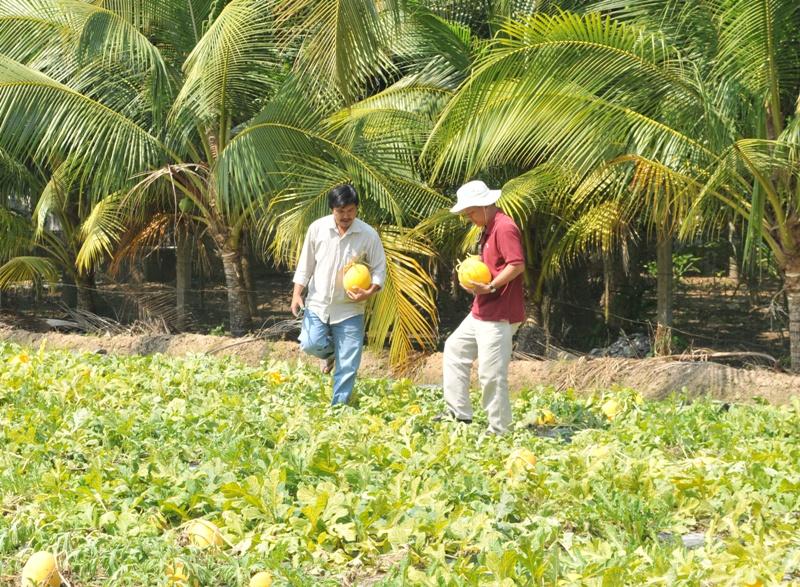 Gia đình ông Liêm bắt đầu thu hoạch dưa từ ngày 9/02