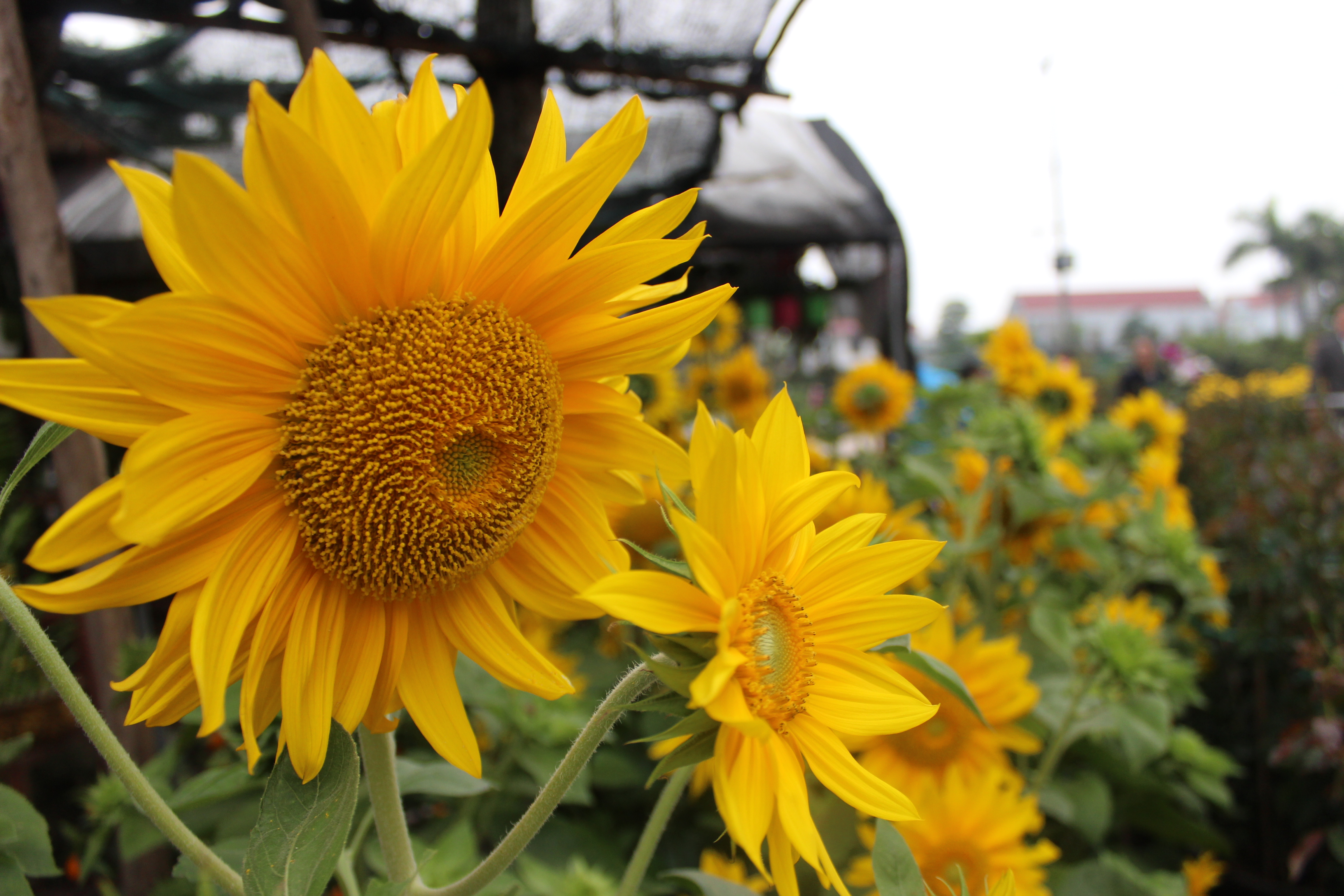 Hoa hướng dương mới xuất hiện trong dịp Tết năm nay có giá 500 ngàn - 800 ngàn đồng