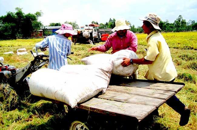 Nhanh chóng thu mua tạm trữ lúa gạo để cứu giá cho nông dân