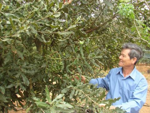 Hiện đã có nhiều hộ nông dân ở Tây Nguyên tham gia trồng cây mắc ca
