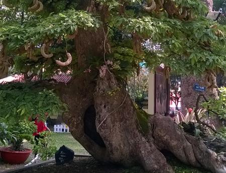 Cây me bonsai gốc lớn cho trái xum xuê