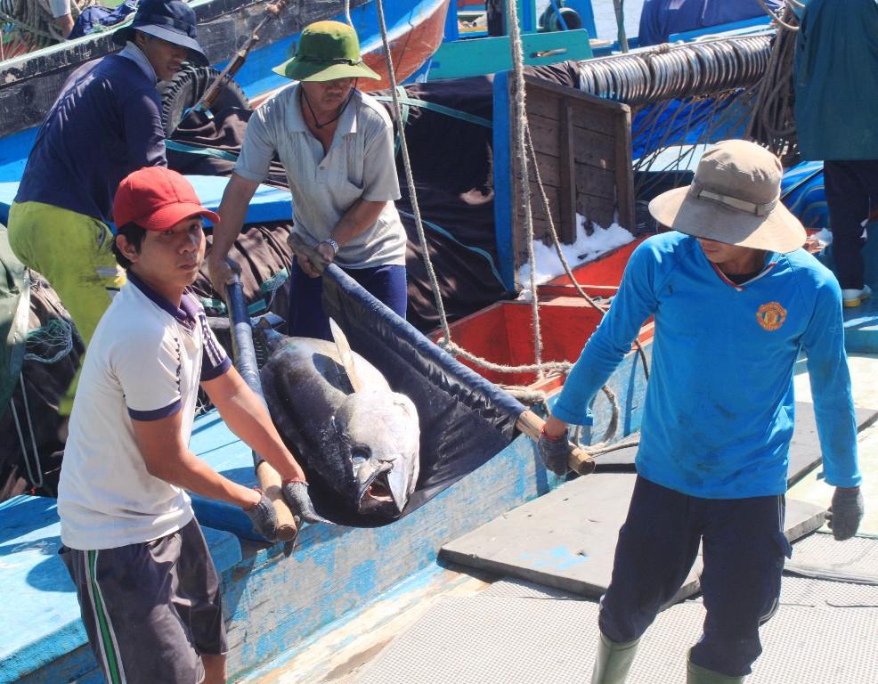 Ngư dân Bình Định mất mùa cá ngừ đại dương