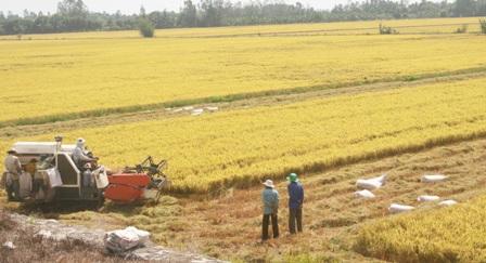 Nông dân Hậu Giang thu hoạch rộ lúa đông xuân