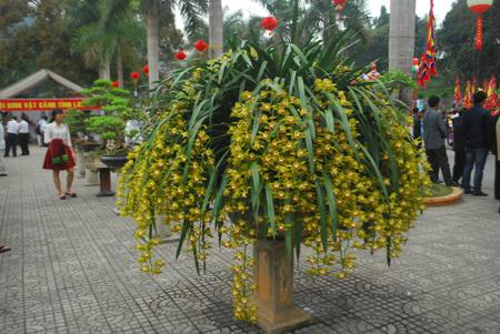 Chậu địa lan Trần Mộng có 128 nhành hoa cùng nở có giá 80 triệu đồng.