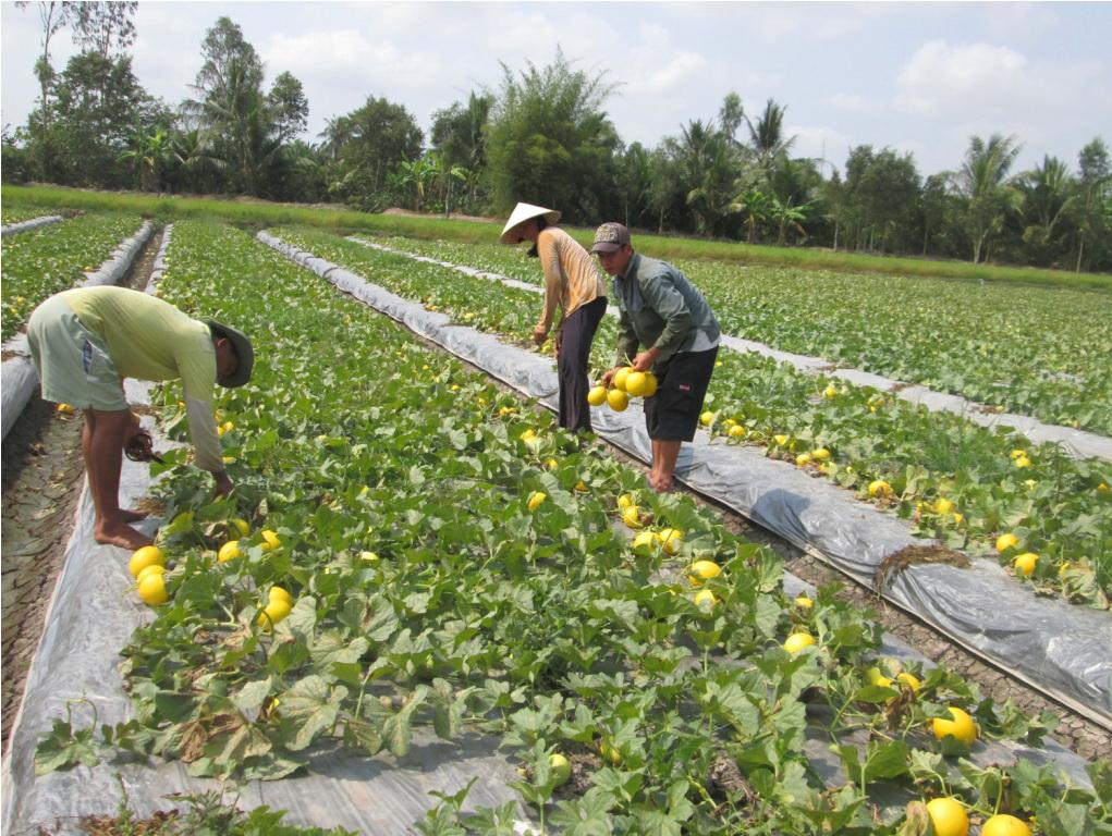 Sau Tết, nông dân Hậu Giang