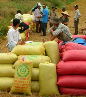 Thương lái đến tận ruộng mua lúa của nông dân